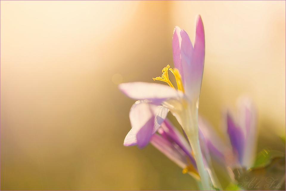 blommig_fredag_krokus