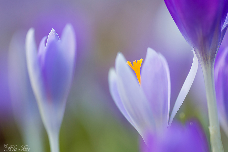 blomstallning