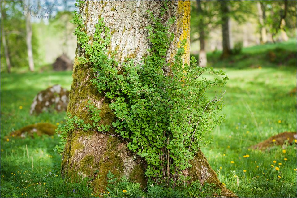 busken