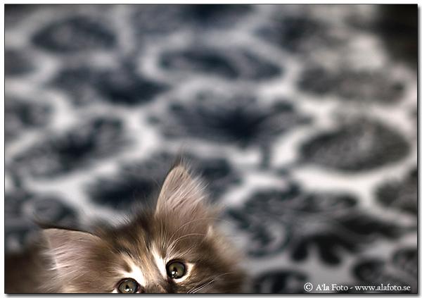 Inte alltid lätt att fotografera kattungar...
