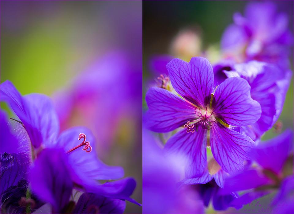 ordlos_lila_blommor