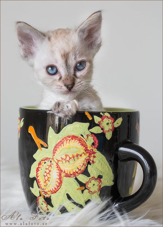 tisdagstema_rymlig_laperm_kattungar