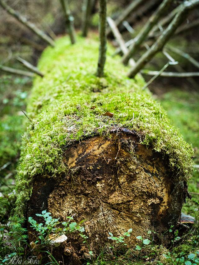 urskogen